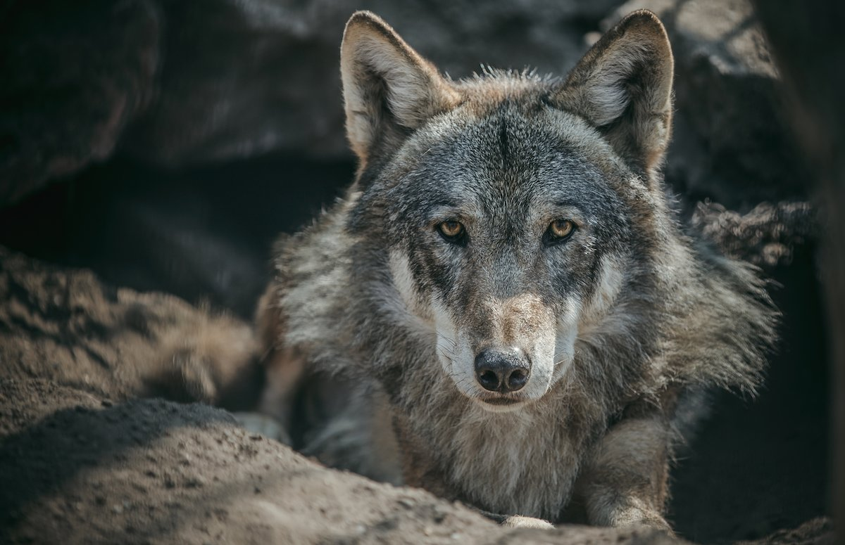 wolf in Romanian forest